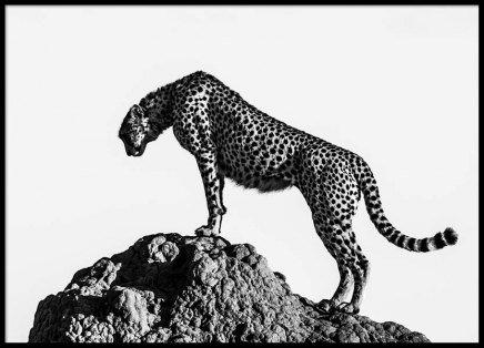 Hunting Cheetah Poster in the group Posters & Prints / Black & white at Desenio AB (2672)