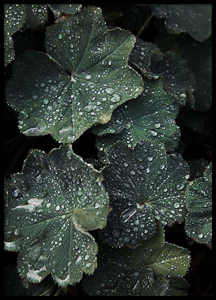 Lady's Mantle Poster in the group Posters & Prints / Photography at Desenio AB (2832)