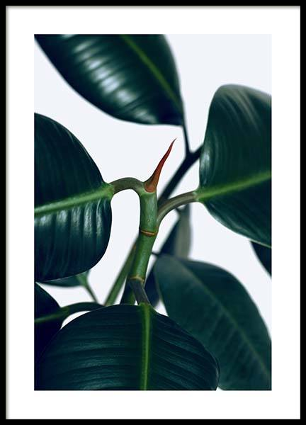 Rubber Plant One Poster in the group Posters & Prints / Photography at Desenio AB (3337)