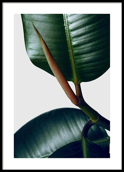Rubber Plant Three Poster in the group Posters & Prints / Photography at Desenio AB (3339)