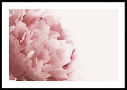 Pink Peony Close Up Poster in the group Posters & Prints / Photography at Desenio AB (3530)