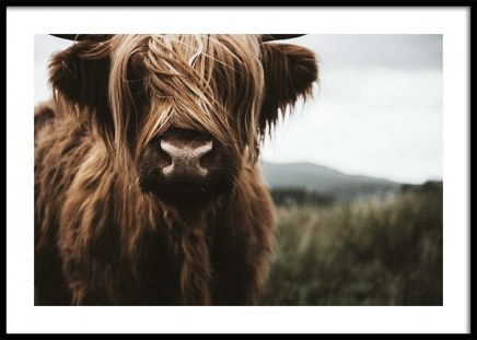 Highland Cattle Poster in the group Posters & Prints / Insects & animals at Desenio AB (3542)