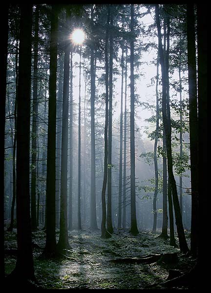 Forest Sunrise Poster