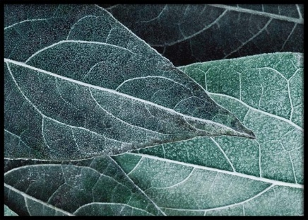 Frosty Leaves Poster in the group Posters & Prints / Photography at Desenio AB (3688)