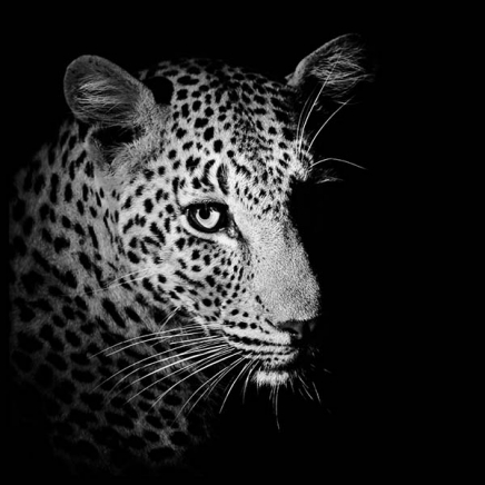 Leopard Close Up Poster in the group Posters & Prints / Black & white at Desenio AB (3857)