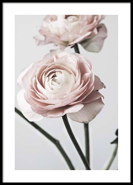 Pink Ranunculus One Poster in the group Posters & Prints / Photography at Desenio AB (3923)