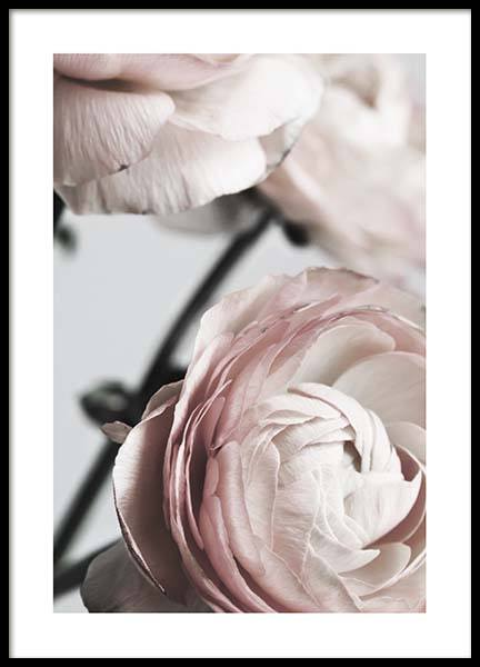 Pink Ranunculus Two Poster in the group Posters & Prints / Sizes / 50x70cm | 20x28 at Desenio AB (3924)