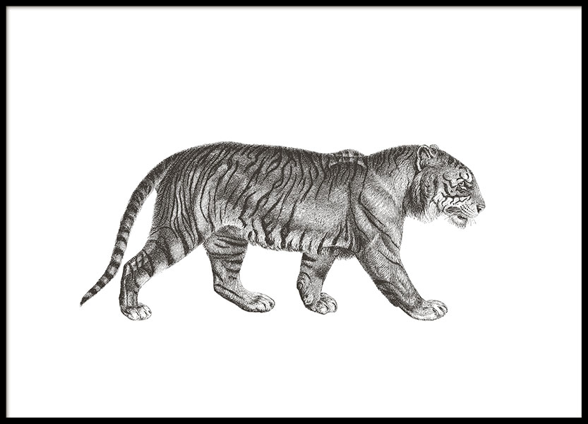 Print with a hand drawn illustration of a tiger, posters with tigers and felines