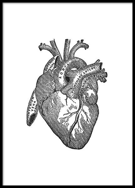 Poster with an old illustration of the heart's anatomy, prints