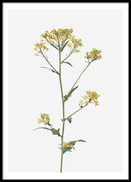Brassica Flower, Poster in the group Posters & Prints / Botanical at Desenio AB (8495)