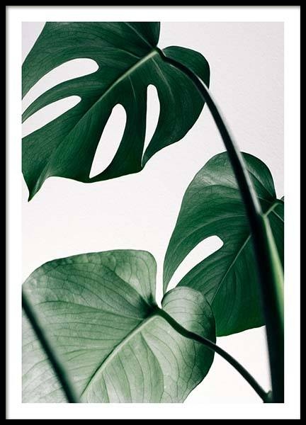 Monstera three Poster in the group Posters & Prints / Sizes / 50x70cm | 19,7x27,6 at Desenio AB (8722)