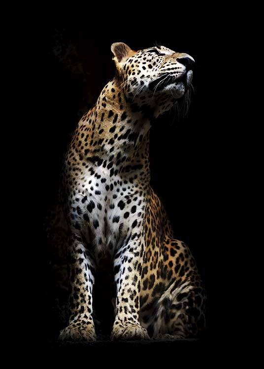 Leopard In Light Poster / Photography at Desenio AB (10404)