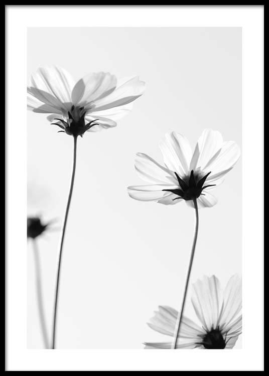 White cosmos flowers poster mightylinksfo