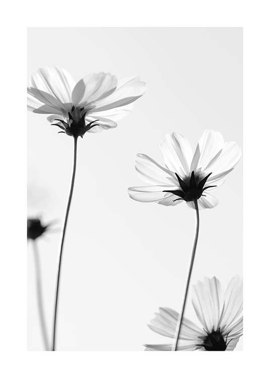 White Cosmos Flowers Poster / Black & white at Desenio AB (10422)