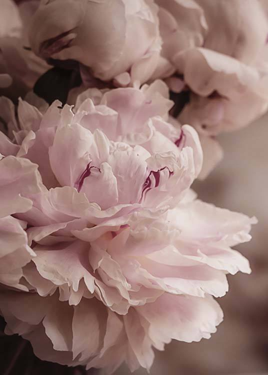 Blooming Peony Poster / Photography at Desenio AB (10561)