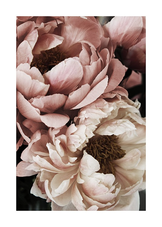 – Close up photograph of a white and pink peony in full bloom