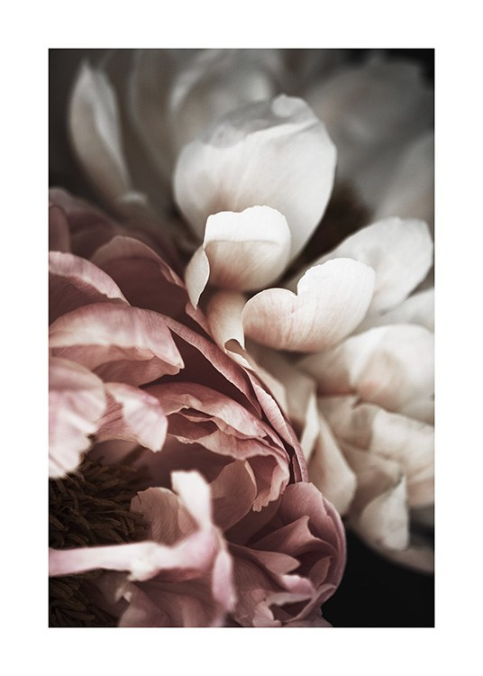 Pink and White Peony Poster / Photography at Desenio AB (10989)