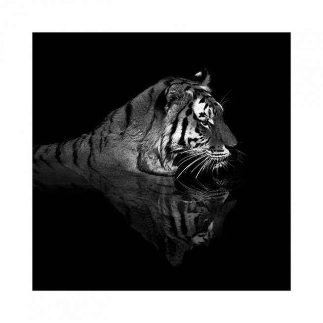 Tiger in Water Poster / Photography at Desenio AB (11688)