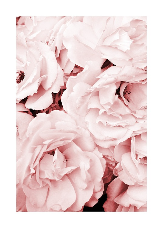 Close Up Pink Roses Poster / Photography at Desenio AB (11793)