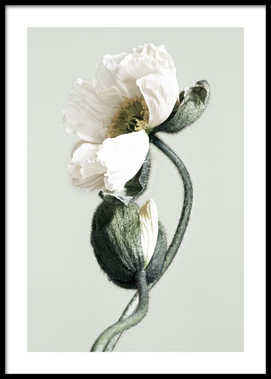 Blooming White Poppies Poster