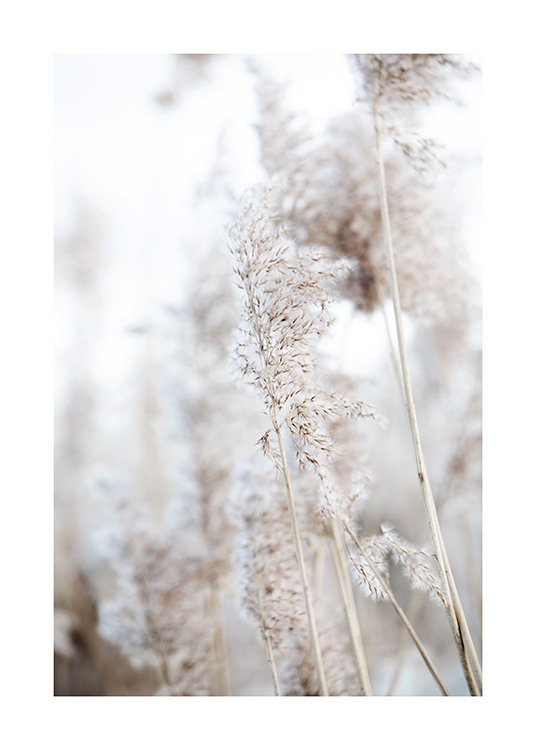– Photograph of reeds in beige with one in focus and the background is blurred