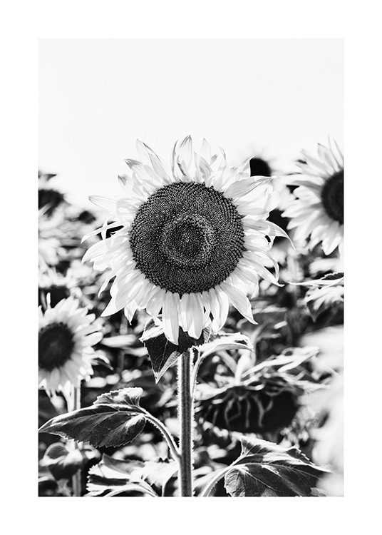 Sunflower B&W Poster / Black & white at Desenio AB (12902)