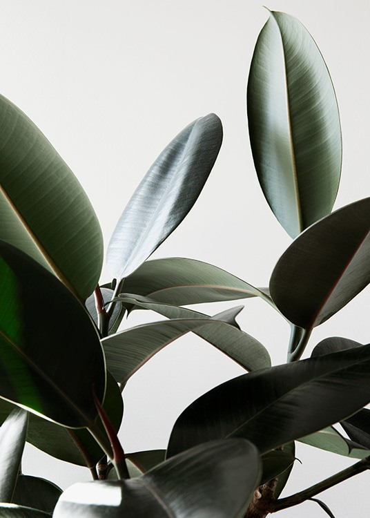 Rubber Plant No1 Poster / Photography at Desenio AB (12910)