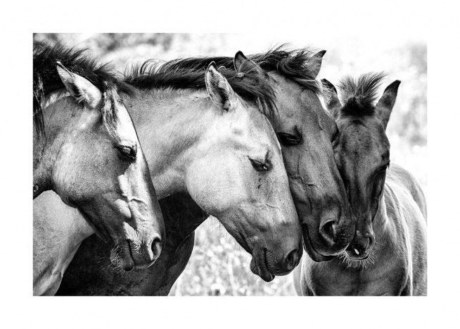 Black and white photograph of horses in group holding their heads against each other