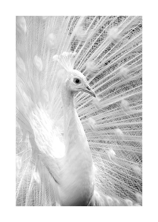 Black and white photograph with white peacock