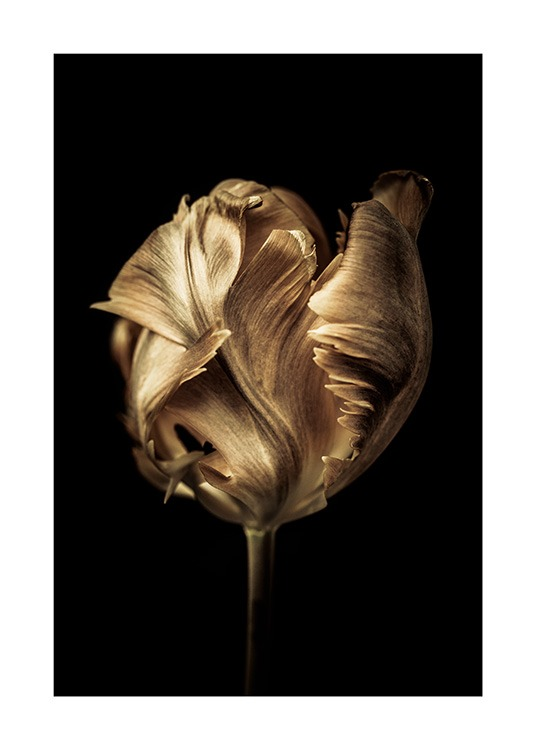 - Photograph of tulip covered in gold colour with a black background
