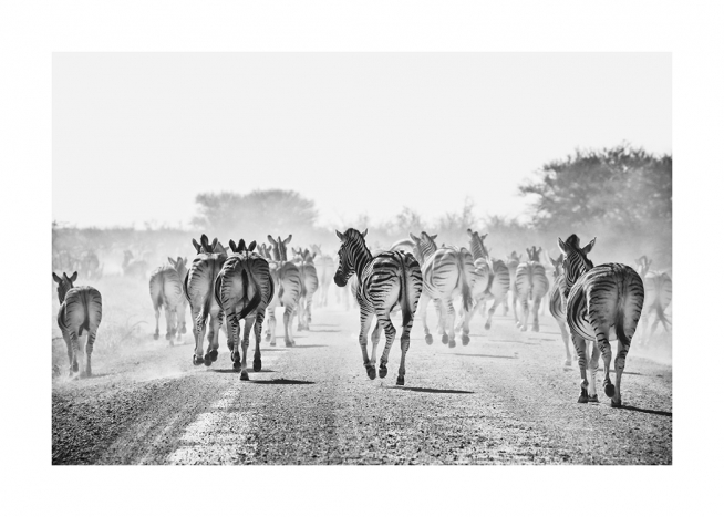 - Black and white photograph large herd of zebras walking down a dusty road