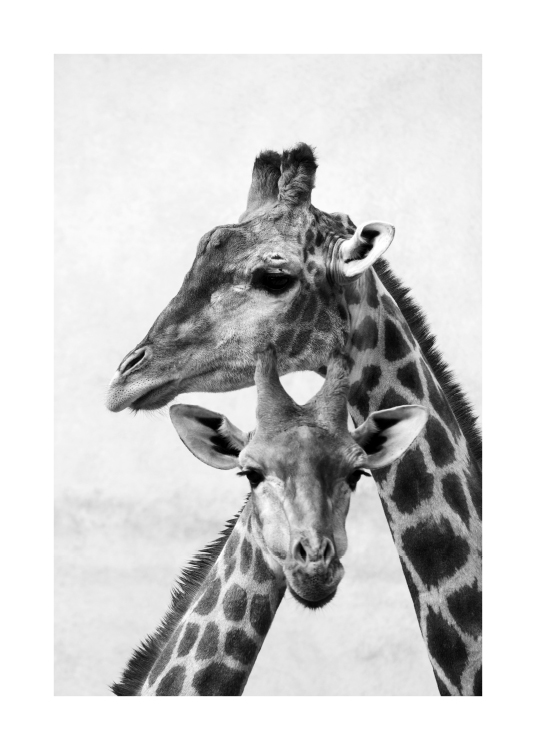 - Black and white photograph of a mother and baby giraffe holding their heads against each other