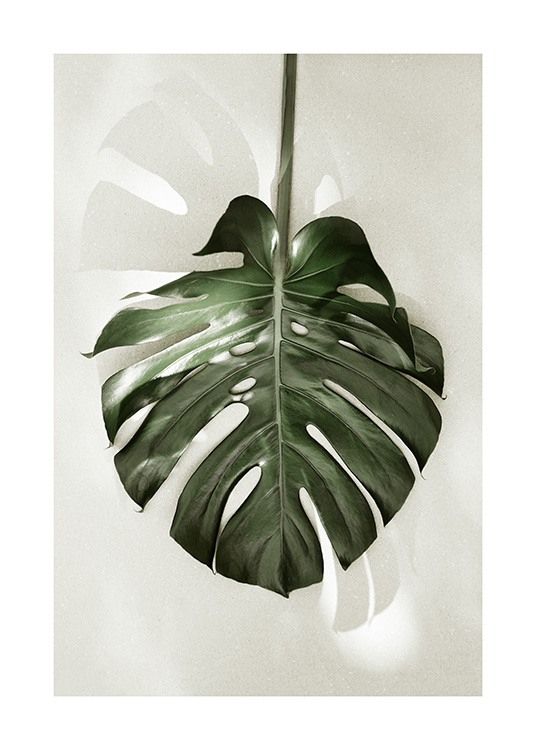- Monstera leaf against a light beige background in the sunlight