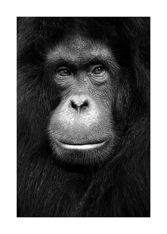 Orangutan Poster / Wild animals at Desenio AB (13868)