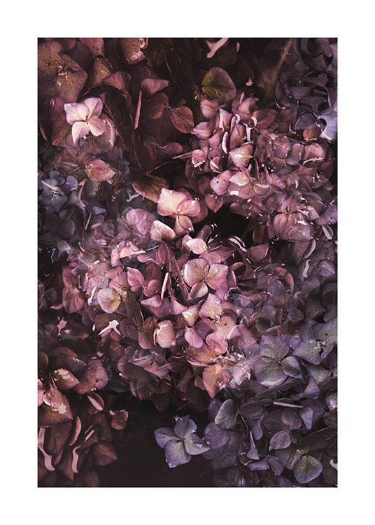 Hydrangea Bloom Poster / Flowers at Desenio AB (13873)