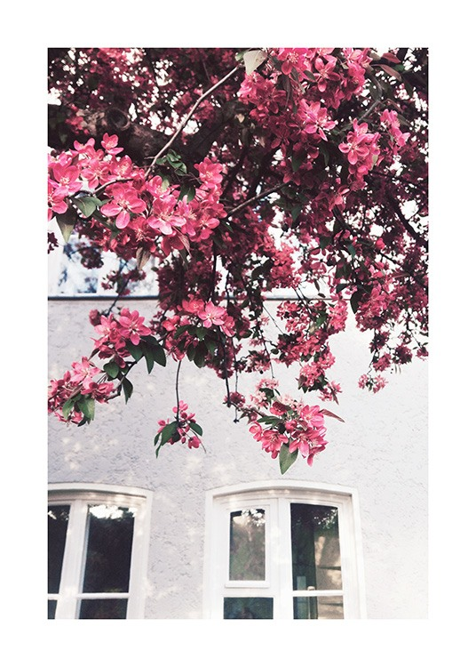 – Photograph of dark pink flowers on a tree with a building in the background