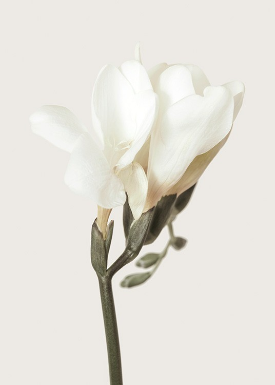 – Photograph of a freesia flower with white petals and a green stem against a light beige background