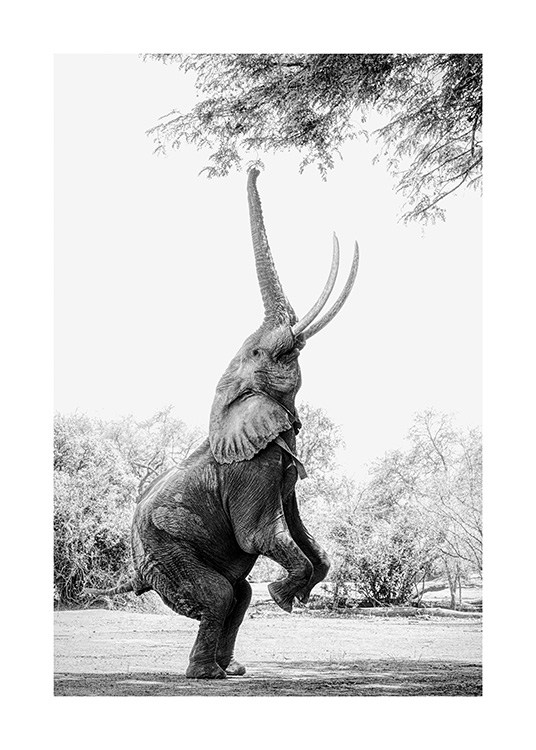 – Black and white photograph of an elephant balancing on its back legs