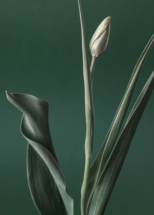 – Photograph of a tulip with a green bud and green leaves, against a dark green background