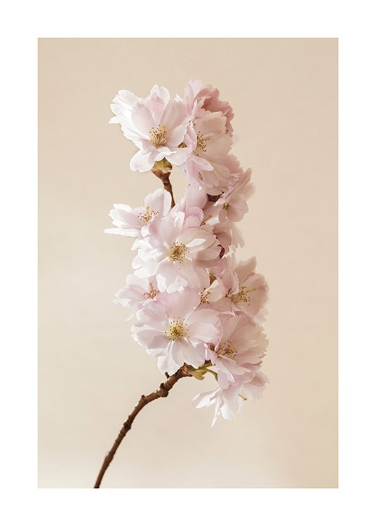 – Photograph of a branch with pink cherry blossoms against a beige background