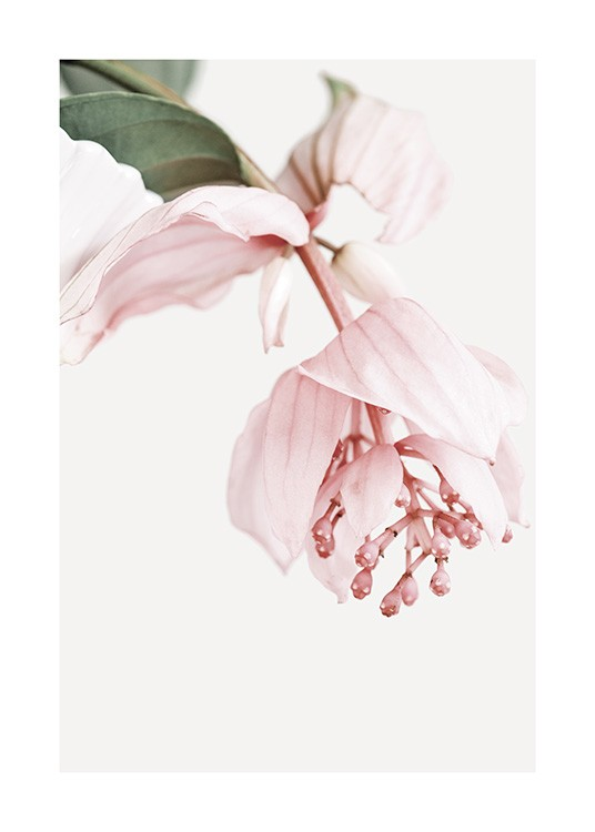 – Photograph of a rose grape flower in pink, against a white background