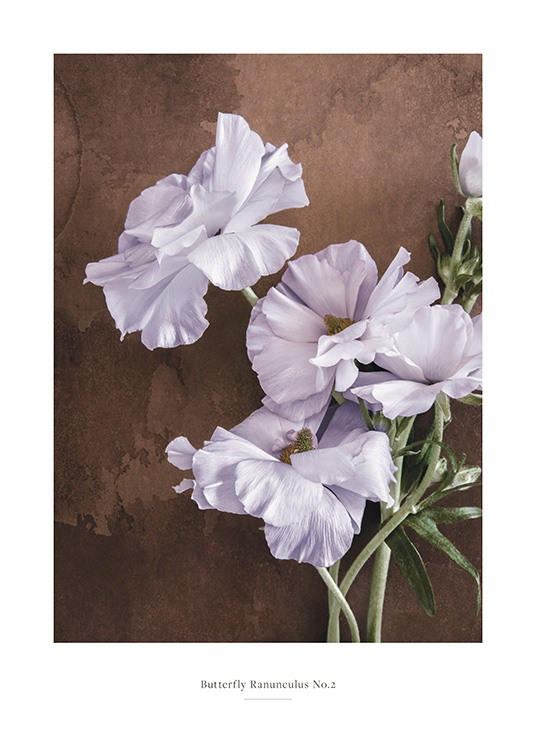 – Photograph of a bunch of ranunculus butterfly flowers in lilac against a brown background