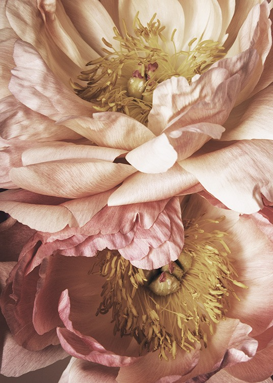 – Photograph with close up of two flowers in light pink with yellow in the middle