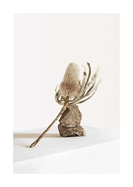 – Photograph of a dried flower in beige on two rocks against a white background