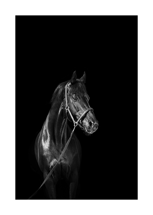 – Black and white photograph of a black horse wearing a halter, against a black background