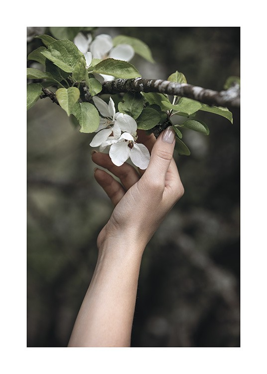 – Photograph of a branch with white flowers and green leaves, and a hand touching them