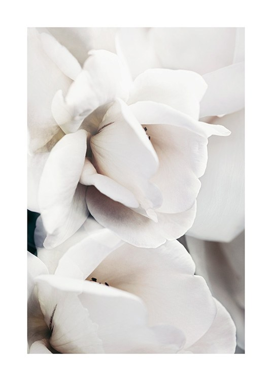 – Photograph with close up of the petals of a rose, in white