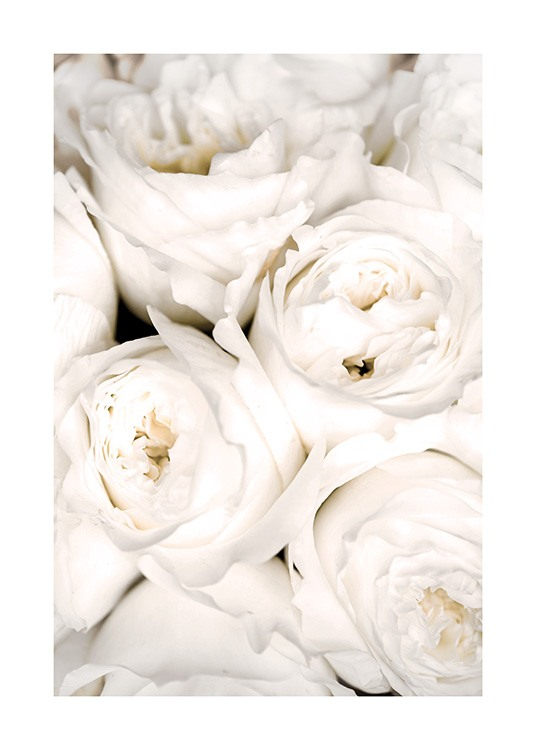 – Close up photograph of white roses bundled up close to each other