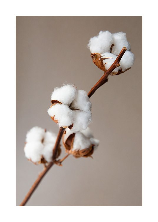 – Photograph of white cotton flowers on a branch, on a beige background