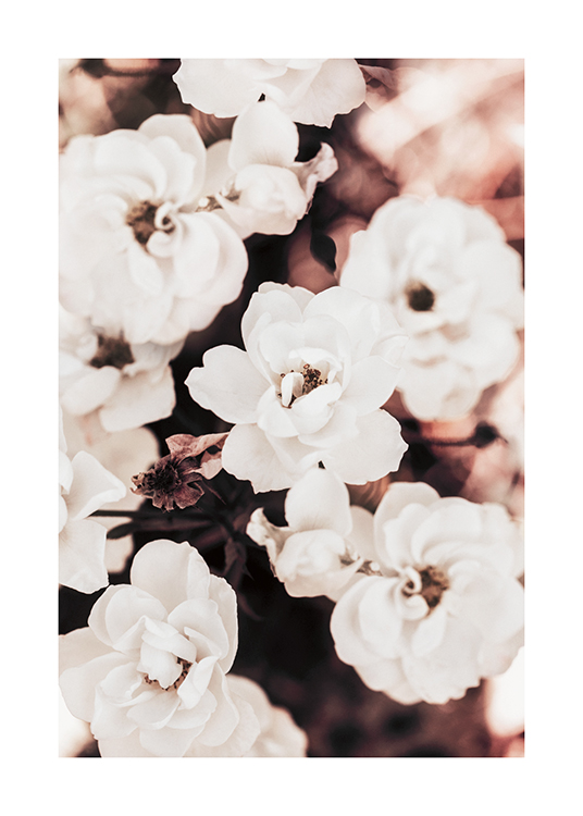 – Photograph of floribunda roses in white, against a blurry background
